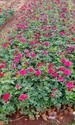 Taj Mahal)(top Secret Dutch Rose Plants