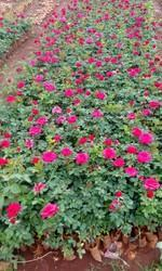 Taj Mahal)(top Secret Dutch Rose Plants