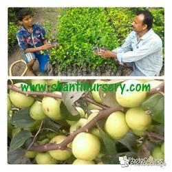 Apple Ber Fruit Plant Green