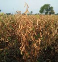 Soybean Seeds 2029