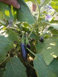 Unnat Seedd Brinjal Seeds, Pack Size: 10gm