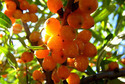 Sea Buckthorn CO2 - Organic Extracts