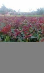 Top,Secret Dutch Rose Plants