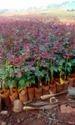 Dutch,Rose Plants