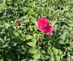 Gladiator Open Field Rose Plants