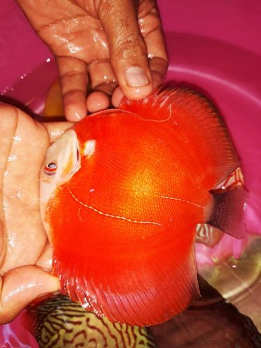 Discus Fish ruby red