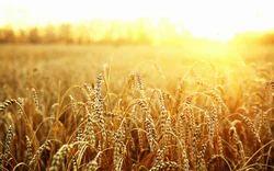 Indian Fresh Wheat Grain