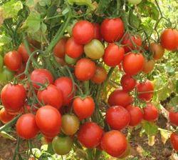 Tomato Arka Rakshak Seeds