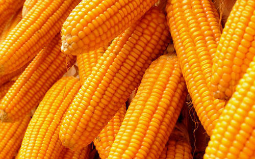 View Specifications & Details Of Corn Seeds