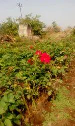 Divine  Open Fild Rose  Plants