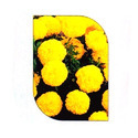 Mari Gold Yellow Flower Seeds