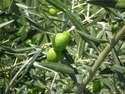 Olive Leaf Extract 10% 20%