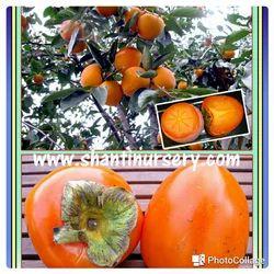 Persimmon Kaki Fruit Plant