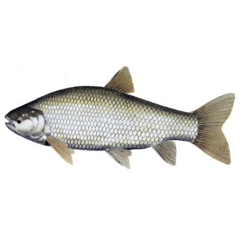 Grass Carp Fish - Manufacturers & Suppliers in India