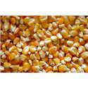Dry Yellow Maize, High In Protein
