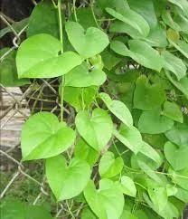 Tinospora Extract