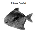 Chinese Pomfret Fish