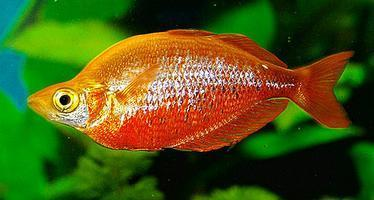 Red Rainbow Fish At Rs 500 Piece S Guppy Fish Id 10486790088