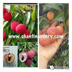 Thai Seedless Litchi Small Seed Plant