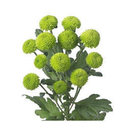 Image result for chrysanthemum plant