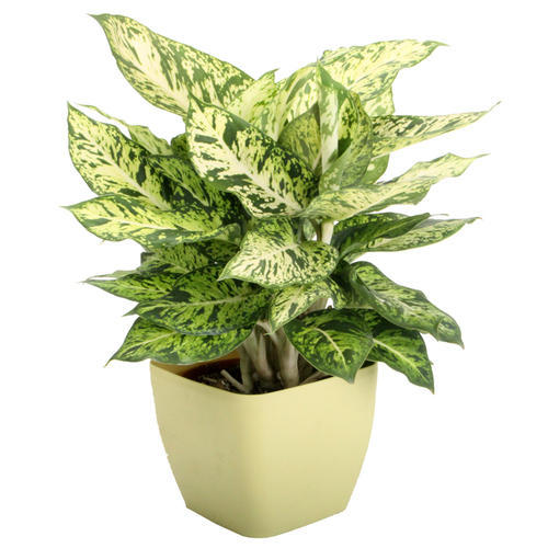 Decorative Indoor Plants Decorative Plants A Naik Co Pune