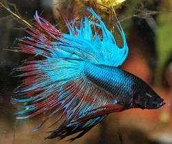 Crowntail Betta Fish