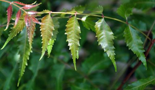 Image result for Azadirachta Indica