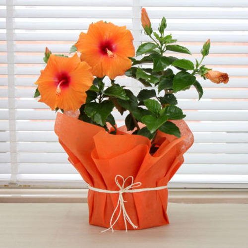 Hibiscus Plant At Rs 999 Ounce Chinese Hibiscus Rose Mallow