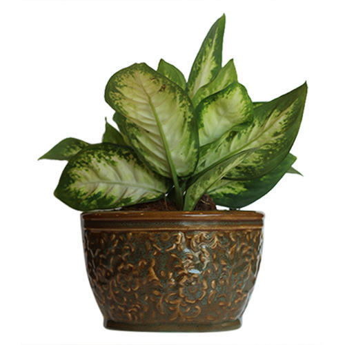 Best Indoor Plants For Small Pots: Dieffenbachia Sparkle Small Indoor Plant In Ceramic Pot At