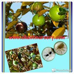 Cream Fruit Plant