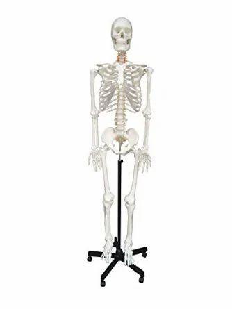 anatomical models - human heart model manufacturer from ambala, Skeleton