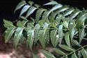Azadirachta Indica Leaf