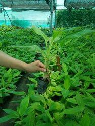 G9 Banana Tissue Cultured Plant