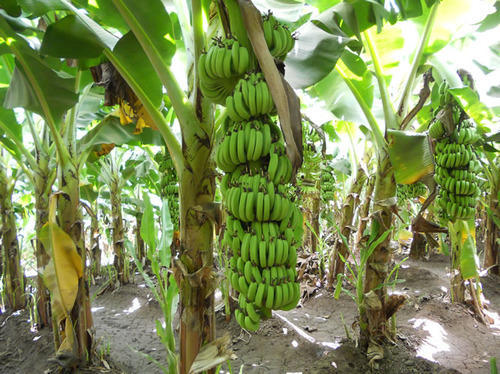banana paper essay Research paper there many fascinating facts about bananas facts such as: the history, how they grow, and even the ripening process there are many interesting ways to ripen bananas.