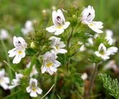 Eyebright (Euphrasia officinalis) Extract