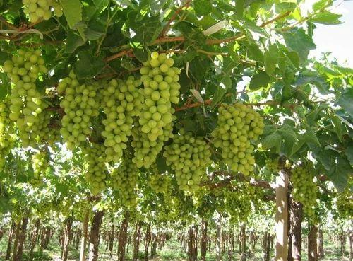 Fresh Grapes (angur)