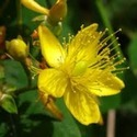 St. John's Wort CO2