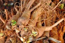 Panax Ginseng Extract 20%