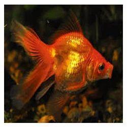 Aquarium Goldfish