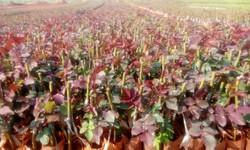Taj Mahal Dutch Rose Plants