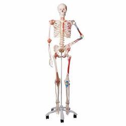 human skeleton for bio lab, osteology model | new anaj mandi, new, Skeleton