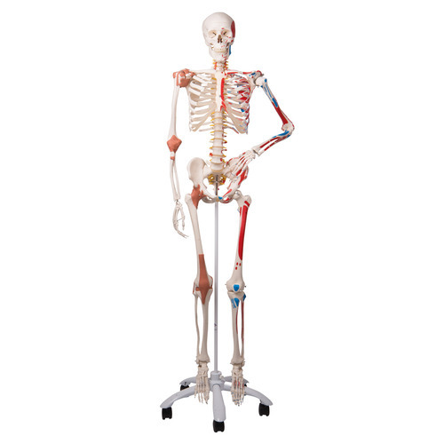 osteology model - human skeleton manufacturer from new delhi, Skeleton