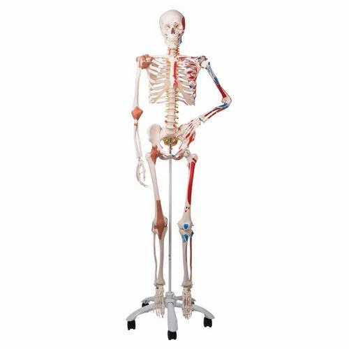 osteology model - female pelvis manufacturer from new delhi, Skeleton