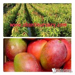Golubkhas Mango Plant