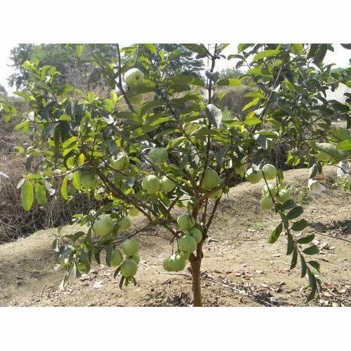 Pinapple Guava Plant - Garden Design Ideas