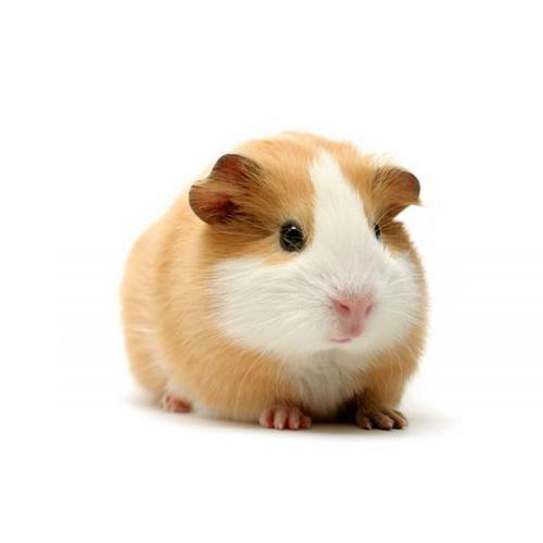Guinea pig - Wholesale Price & Mandi Rate for Guinea pig