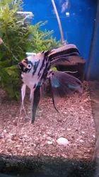 Veiltail Angelfish