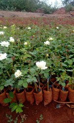 Avalanche Rose Plants
