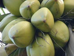 B Grade Solid Green Coconuts