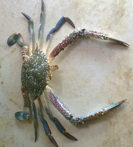 Blue Crab - Blue Crabs Wholesale Trader from New Delhi